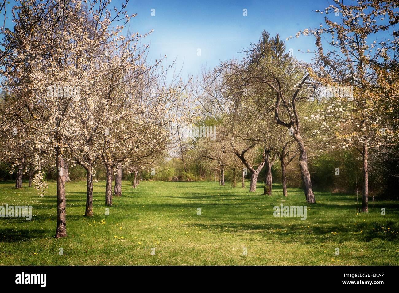 Paysage printanier du Bayern: Premiers fleurs sur les branches d'arbres de pomme dans le verger, point de mire doux Banque D'Images