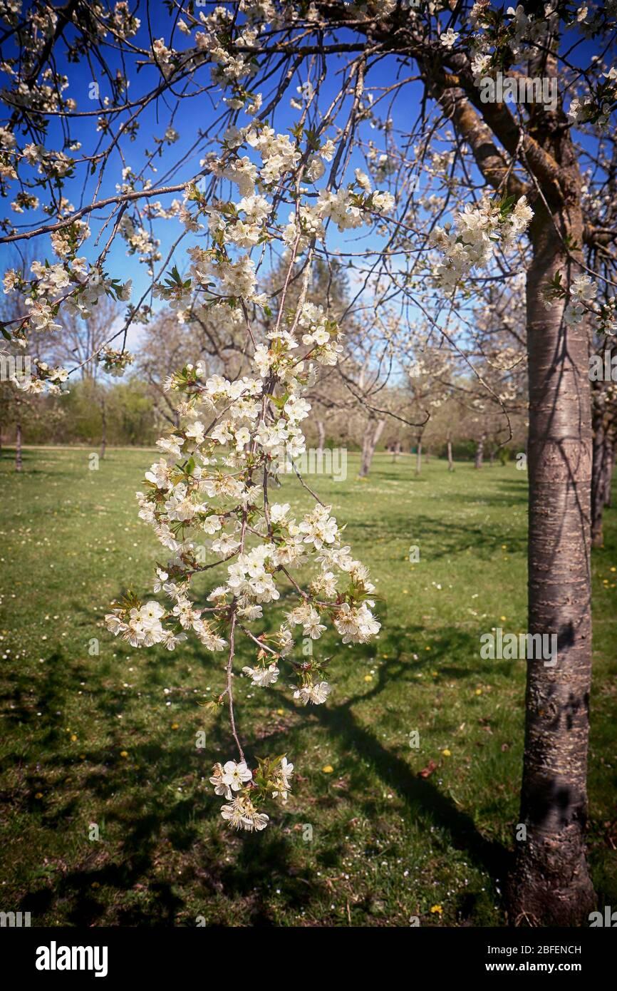 Printemps au Bayern, branche d'arbres de pomme pleine de fleurs blanches dans le verger, point de mire doux Banque D'Images