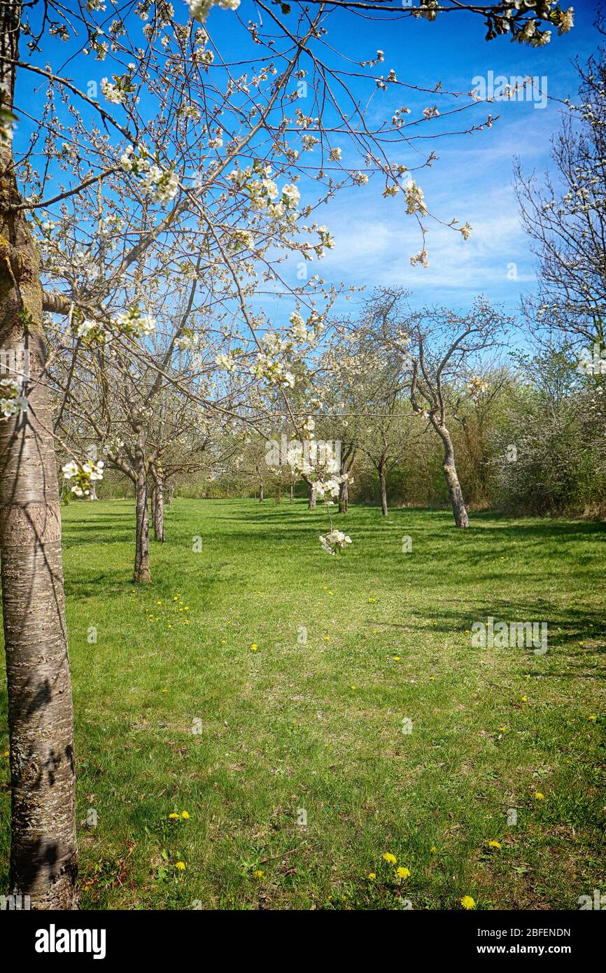 Paysage printanier du Bayern: Premières fleurs blanches roses sur les branches de pommiers dans la campagne, point de mire doux Banque D'Images