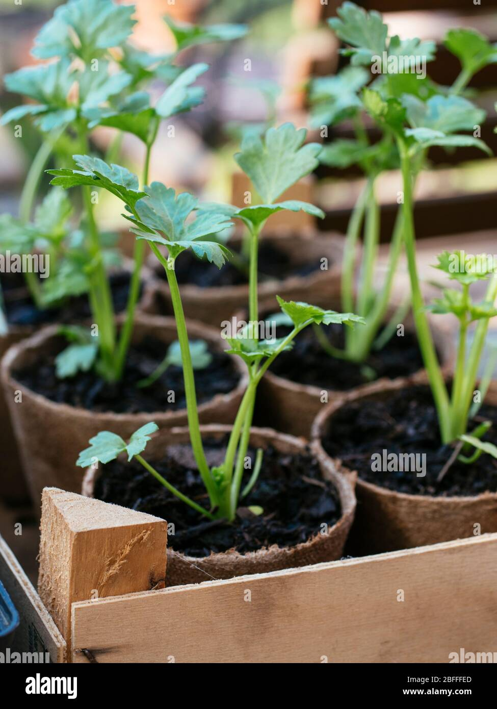 Plantules de céleri-rave biodégradables pots de plantation de tourbe Banque D'Images
