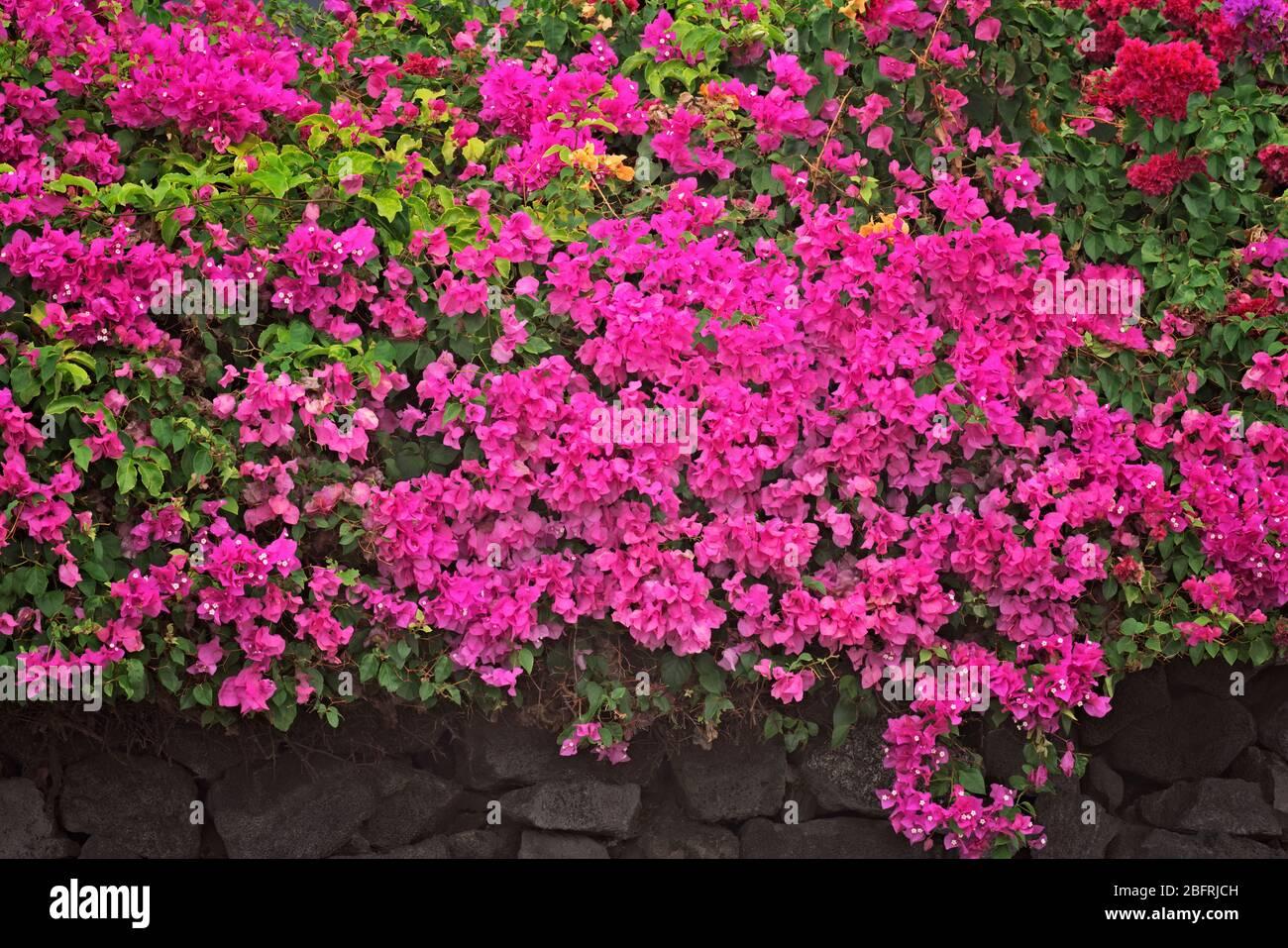 Les bougainvillea fleurit parmi les murs de roche le long de la promenade Ali'i à Kona et sur la Grande île d'Hawaï. Banque D'Images