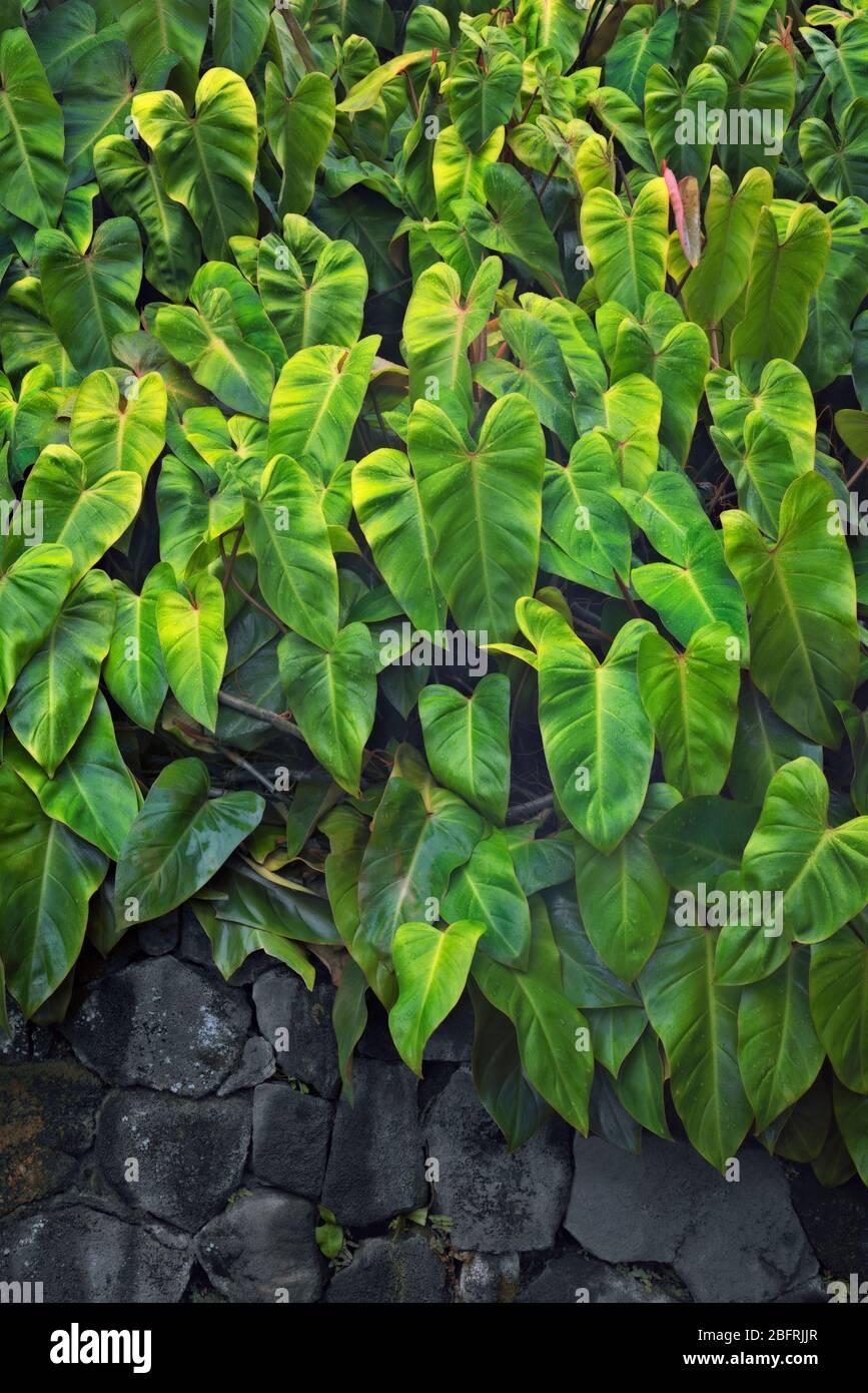 Philodendron s'épanouisse dans ce climat humide et humide sur la Grande île d'Hawaï. Banque D'Images