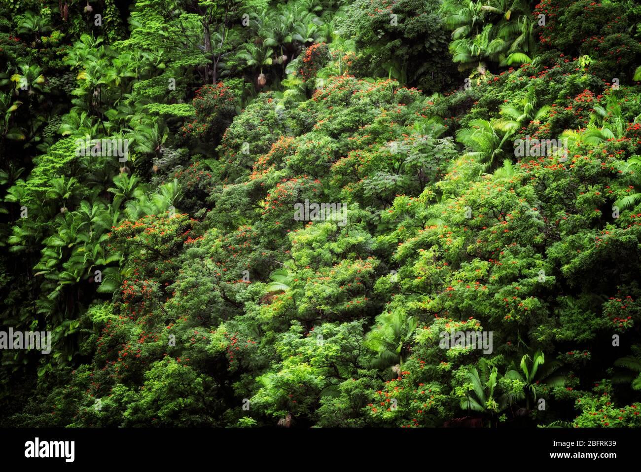 La végétation dense de la forêt tropicale des palmiers et des tulipes africaines fleuries poussent dans les nombreuses gorges le long de la côte Hamakua sur la Grande île de Banque D'Images