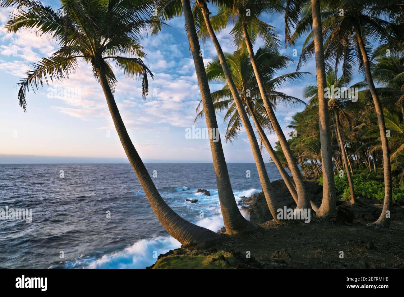 Première beauté légère le long de la côte de Puna bordée de palmiers sur la Grande île d'Hawaï. Banque D'Images