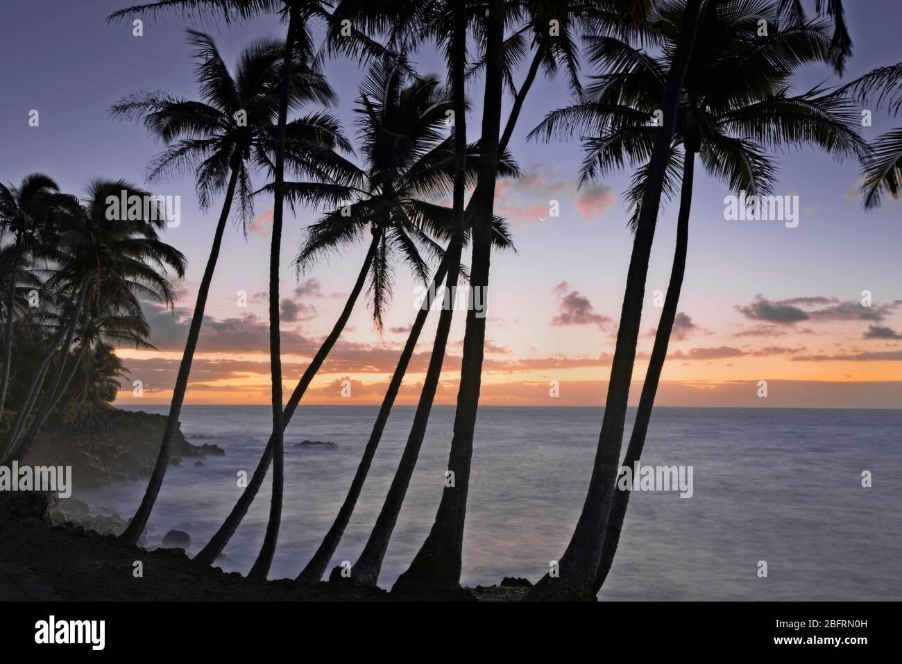 Une lune de croissant se fixe parmi les couleurs du lever du soleil et les palmiers côtiers de Puna silhouettés sur la Grande île d'Hawaï. Banque D'Images