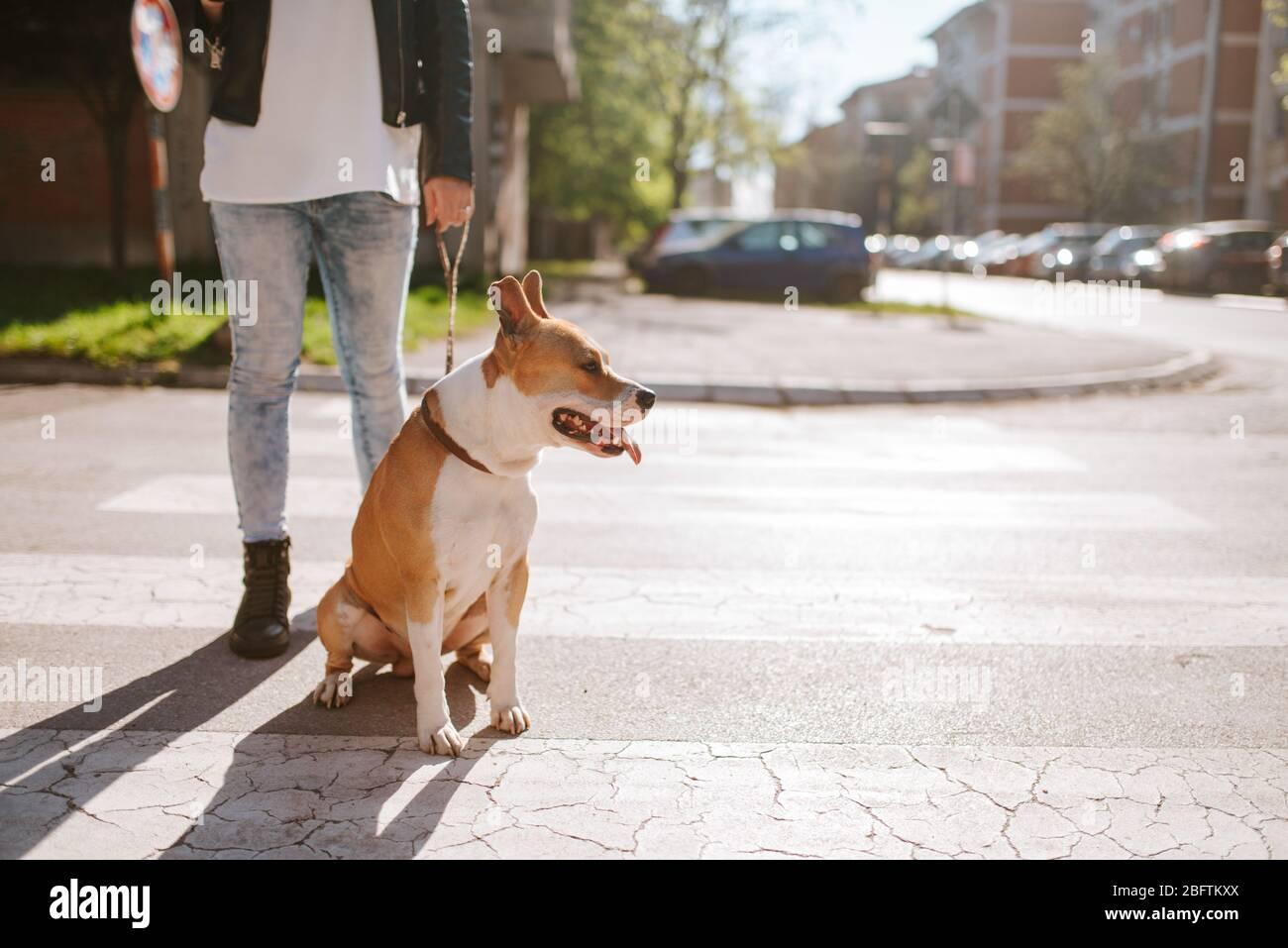 Belle race de chien American Staffordshire Terrier avec une fille caucasienne dans la rue Banque D'Images