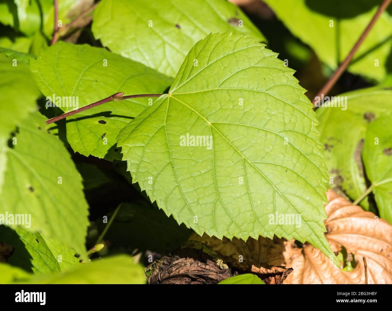 Feuille serrate. Gros plan d'une feuille verte avec bord dentelé. Marges de lame dentelées. Marge de feuilles dentelées. Banque D'Images