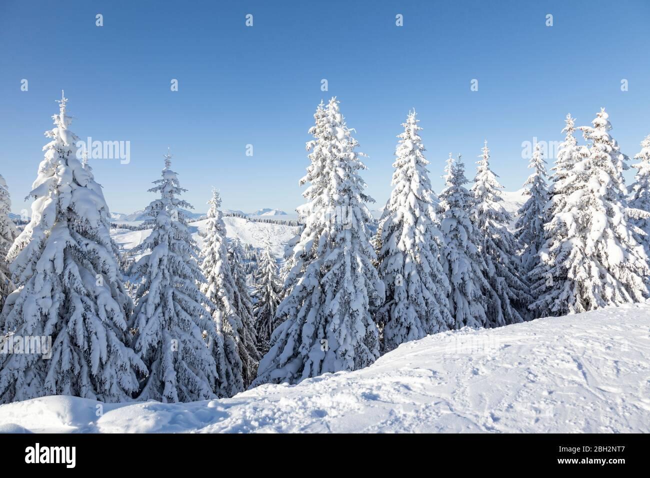 Arbres de sapin recouverts de neige épaisse et fraîche aux Gets, France. Banque D'Images