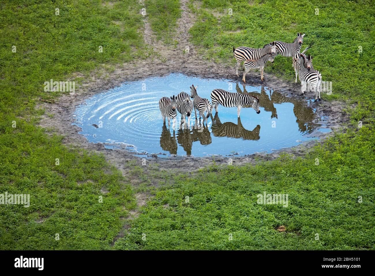 Zebra dans l'étang, le Delta d'Okavango, Botswana, Afrique- aérienne Banque D'Images