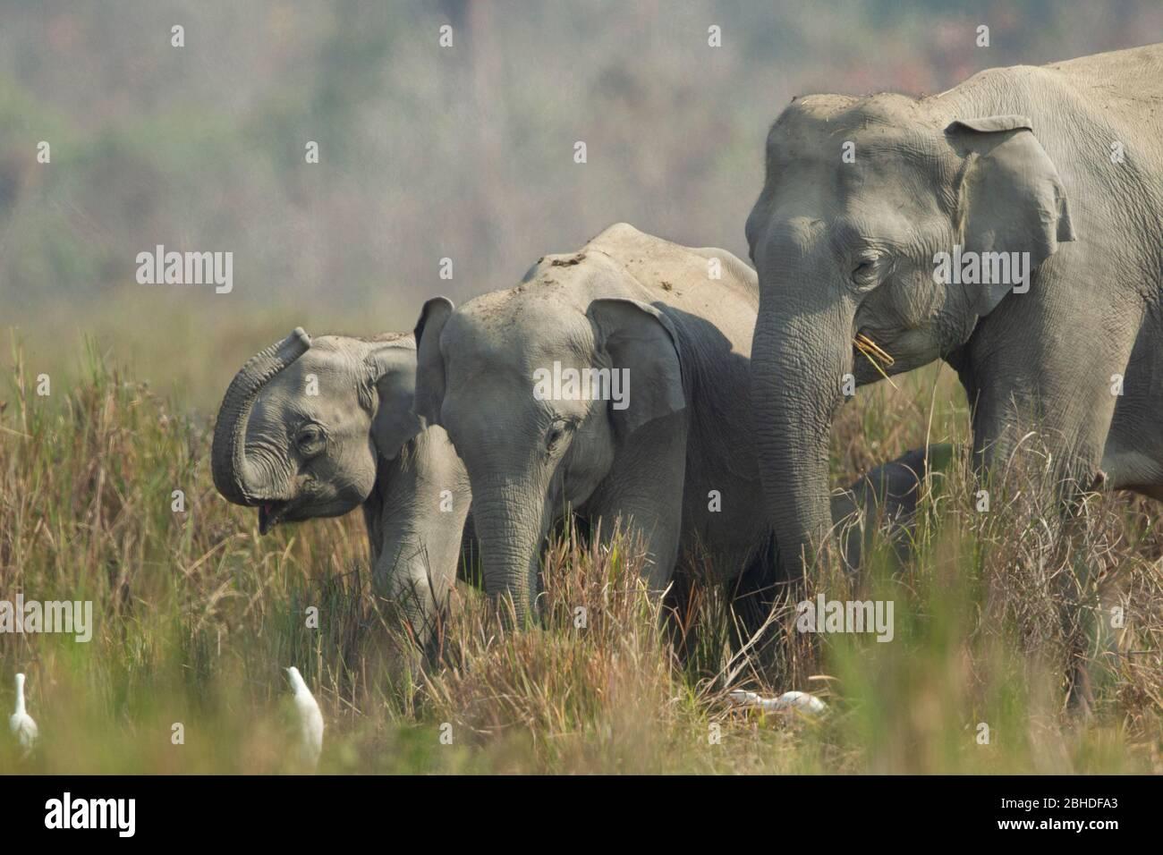 Éléphant d'Asie (Elephas maxima), vaches et juvéniles Banque D'Images