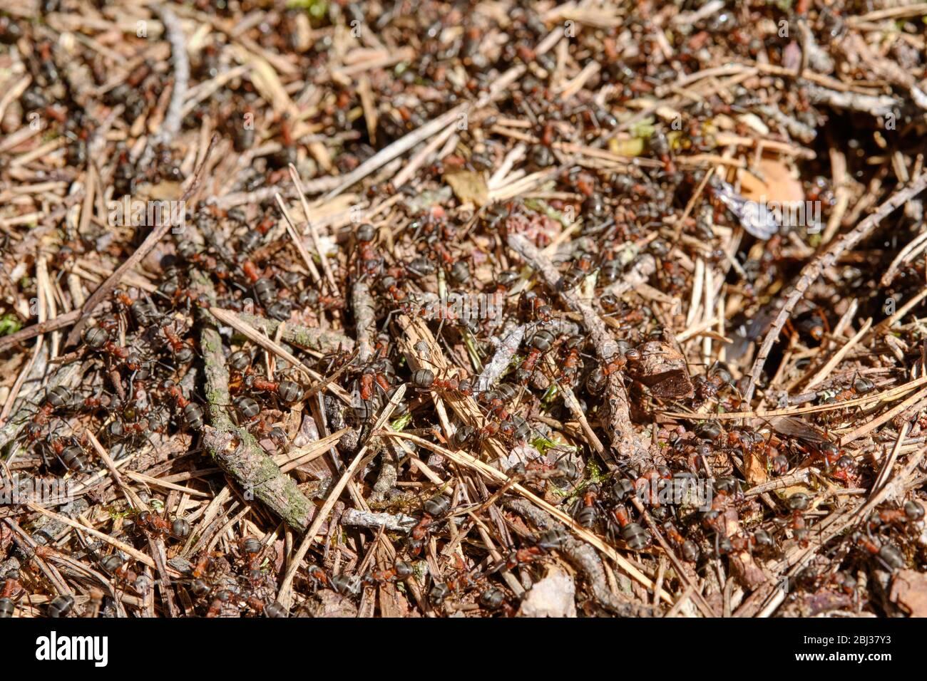 Gros plan d'un anthill dans la forêt avec de nombreux fourmis de bois rouge rampant dessus. Vue sur un printemps ensoleillé dans la forêt de Bavière, Allemagne Banque D'Images