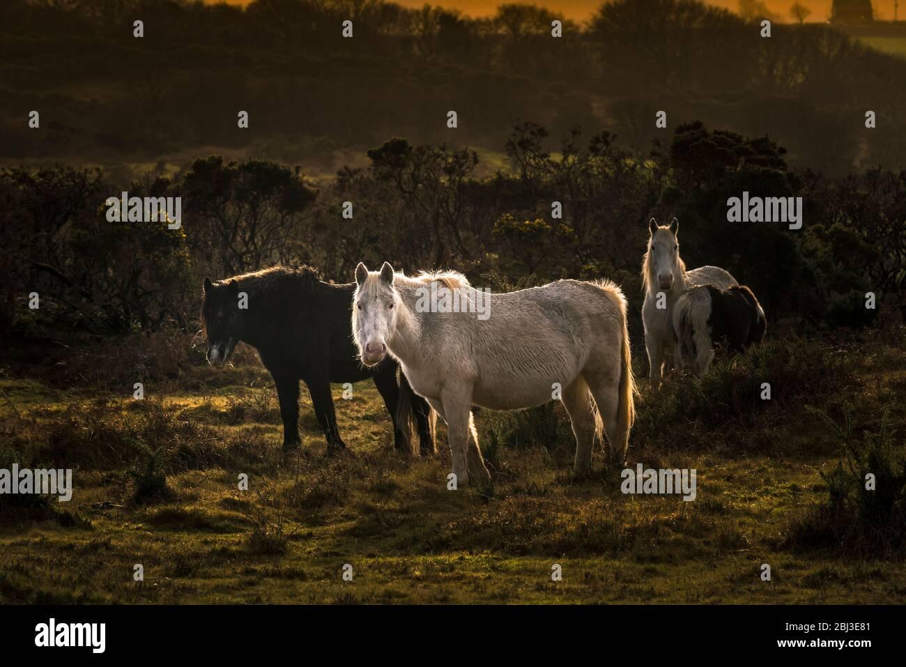 Poneys sur Goonzion Bodmin sauvages Downs sur Bodmin Moor en Cornouailles. Banque D'Images