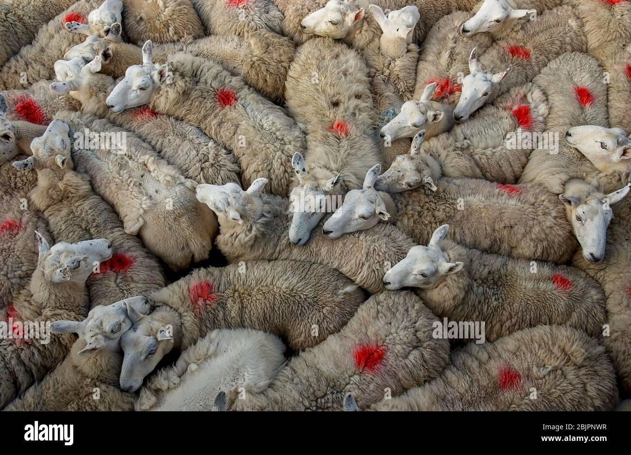 Les moutons se sont rassemblés dans un stylo attendant d'être cisaillé, île d'Eigg, Inner Hebrides, Ecosse. Banque D'Images
