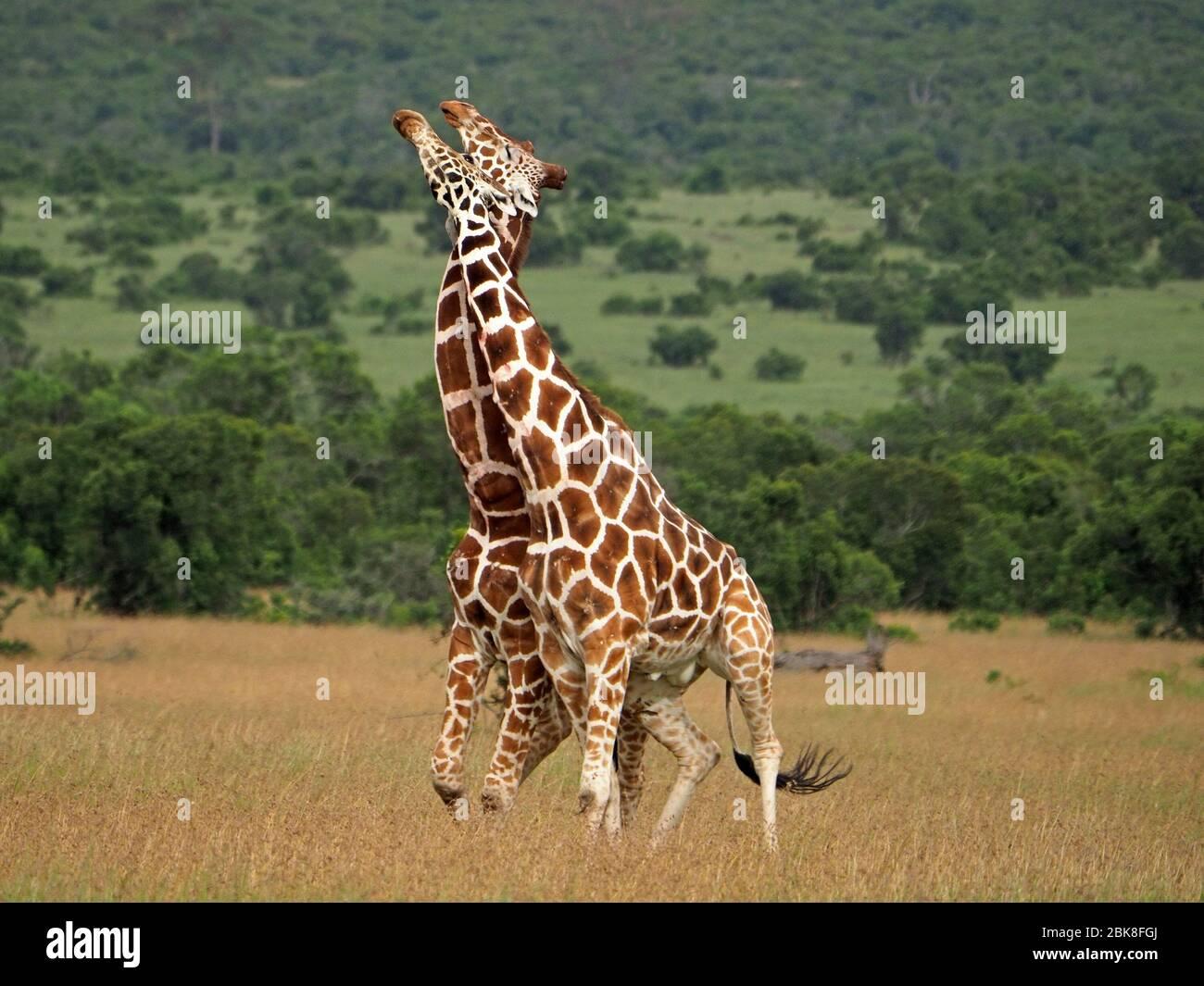 Deux vieux girafes réticulés (Giraffa camelopadis reticulata) se battent pour le droit de s'accoupler avec des femelles -OL Pejeta Conservancy,Laikipia,Kenya, Afrique Banque D'Images