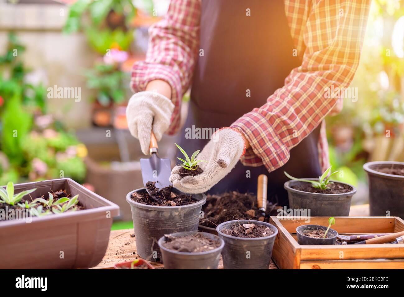 Jardinier plantant l'arbre et la croissance. Maison jardinage nature et environnement passe-temps. Détendez-vous et rédétendez-vous pendant la saison de récolte du printemps à la maison. Banque D'Images