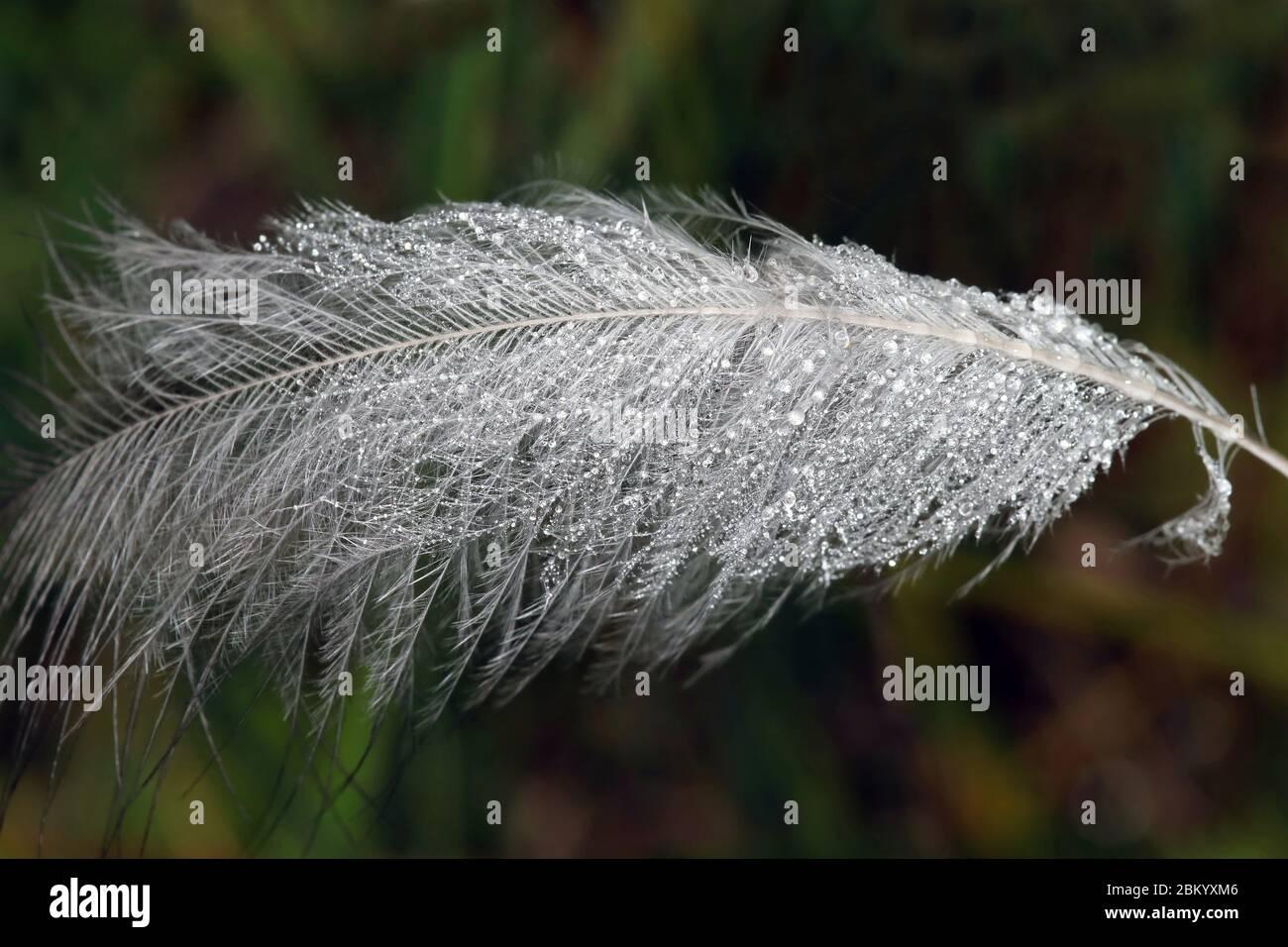 Plume blanche et douce à motif oiseaux avec rosée du matin dans l'herbe Banque D'Images