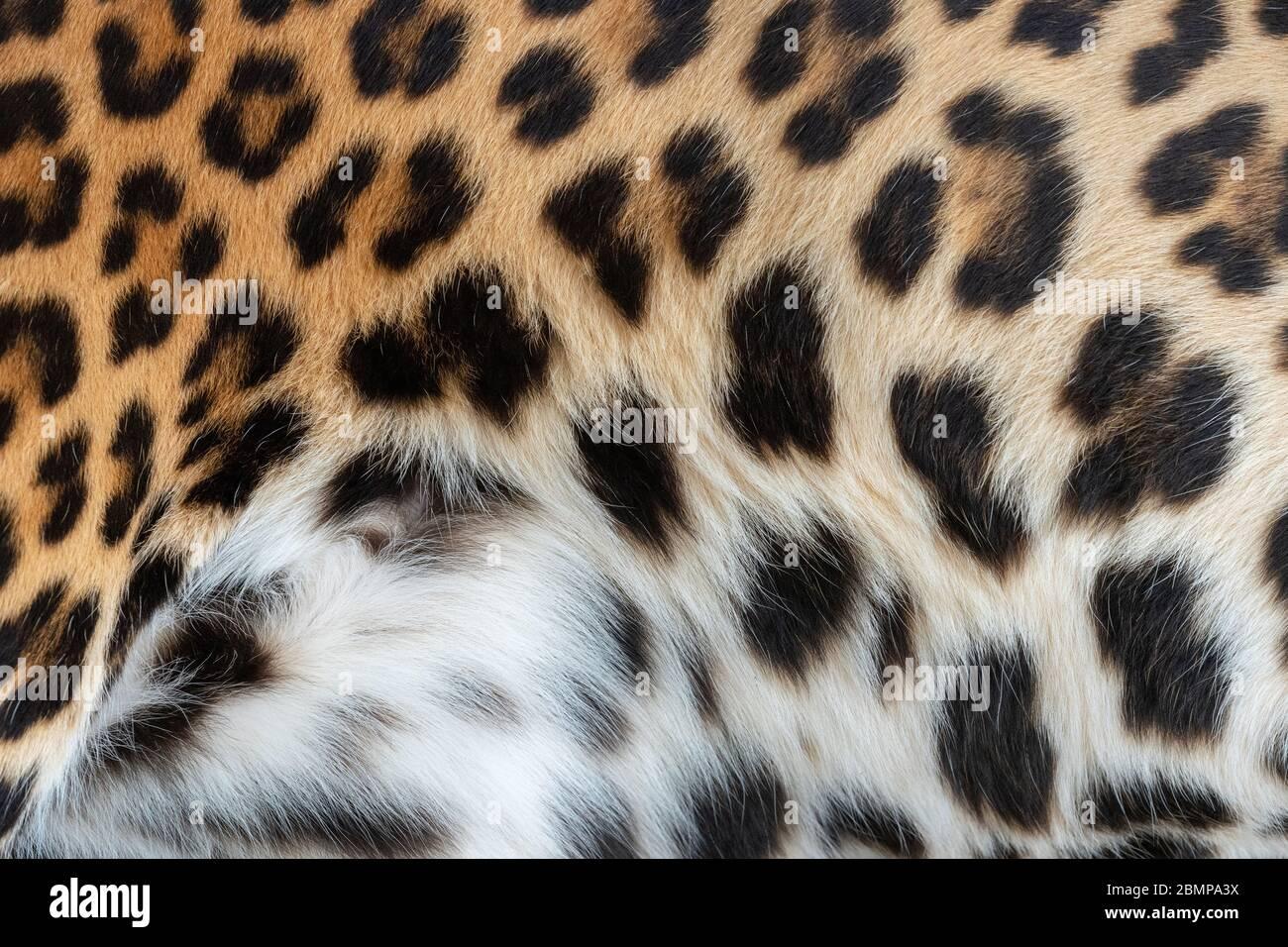 Motif léopard. Texture de la peau de fourrure réelle. Fond de mosaïque à motif animal Banque D'Images