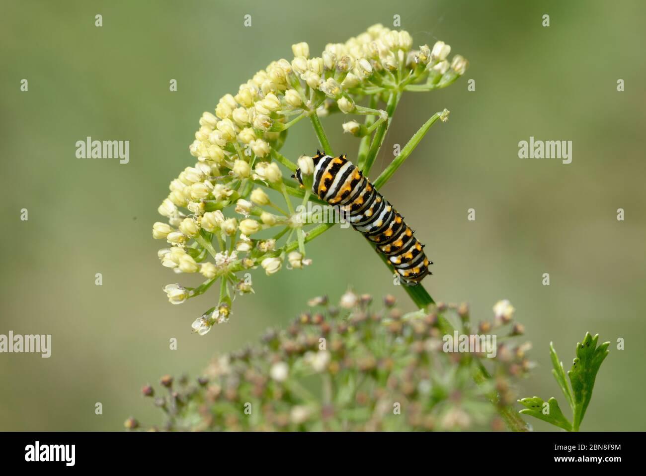 Caterpillar swallowtail noir Banque D'Images