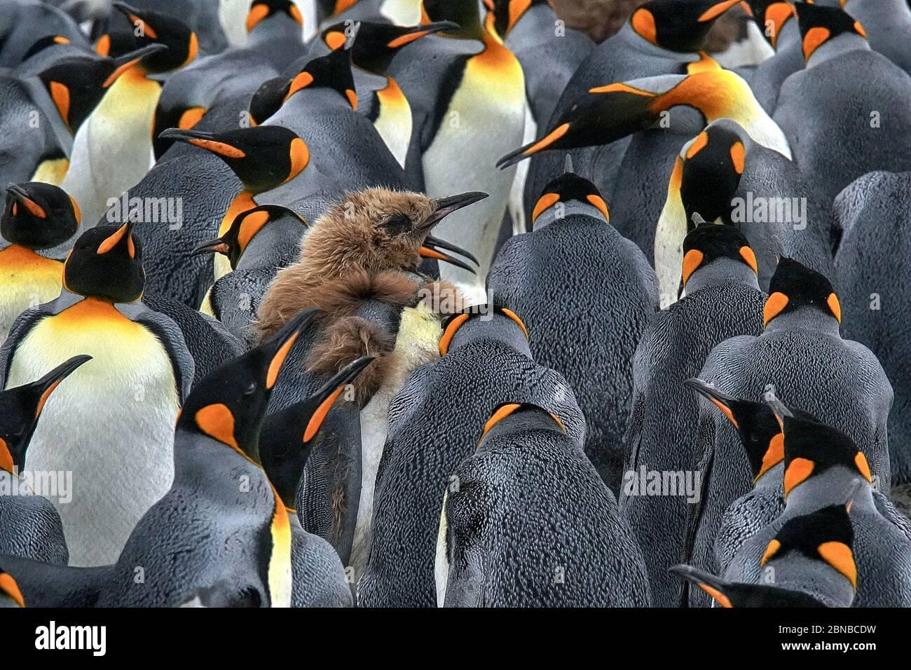 Pingouin royal (Aptenodytes patagonicus), colonie, Antarctique, plaines de Salisbury, crique de Cierva Banque D'Images