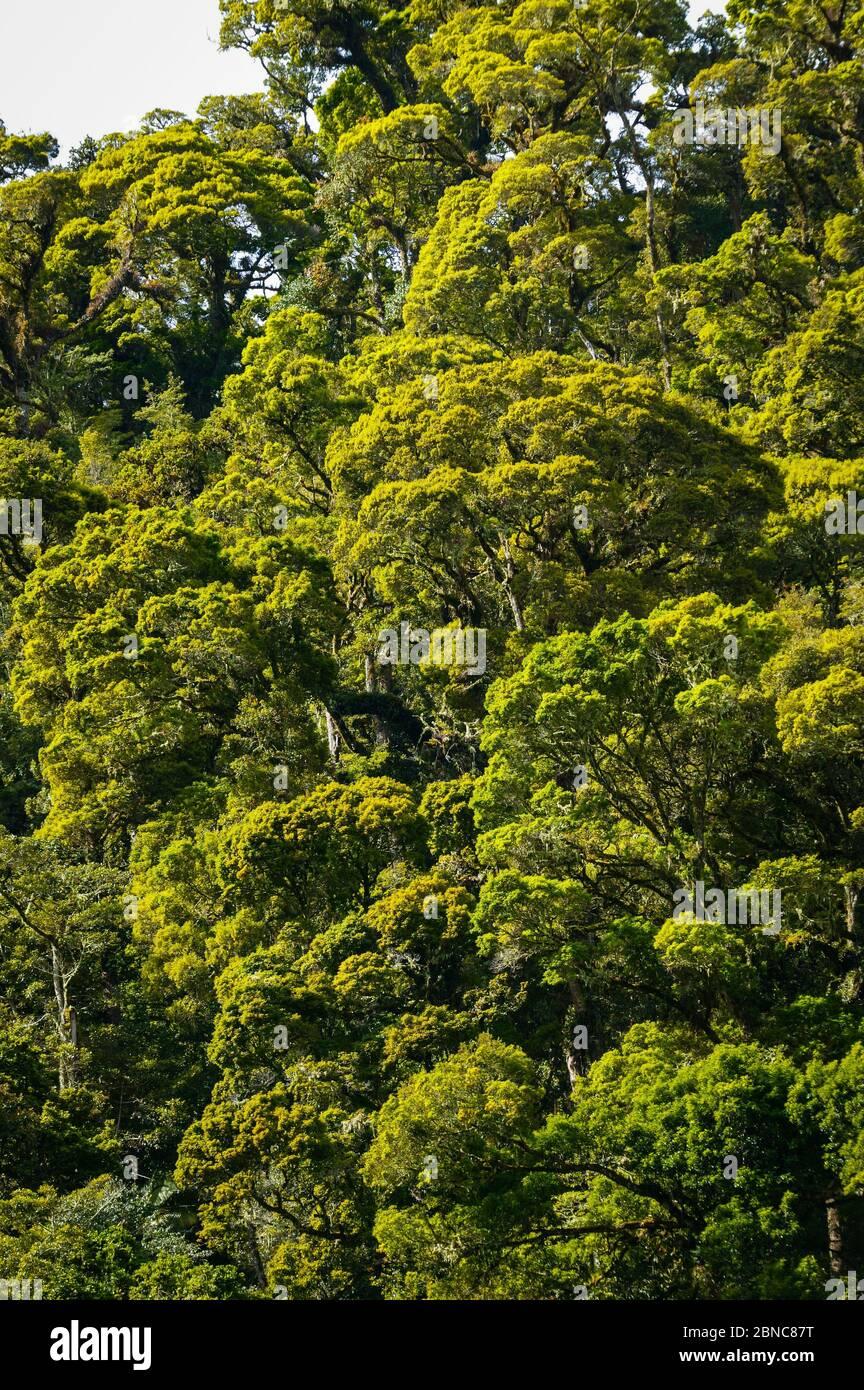 Couvert de Cloudforest dans le parc national de la Amistad, province de Chiriqui, République du Panama. Banque D'Images