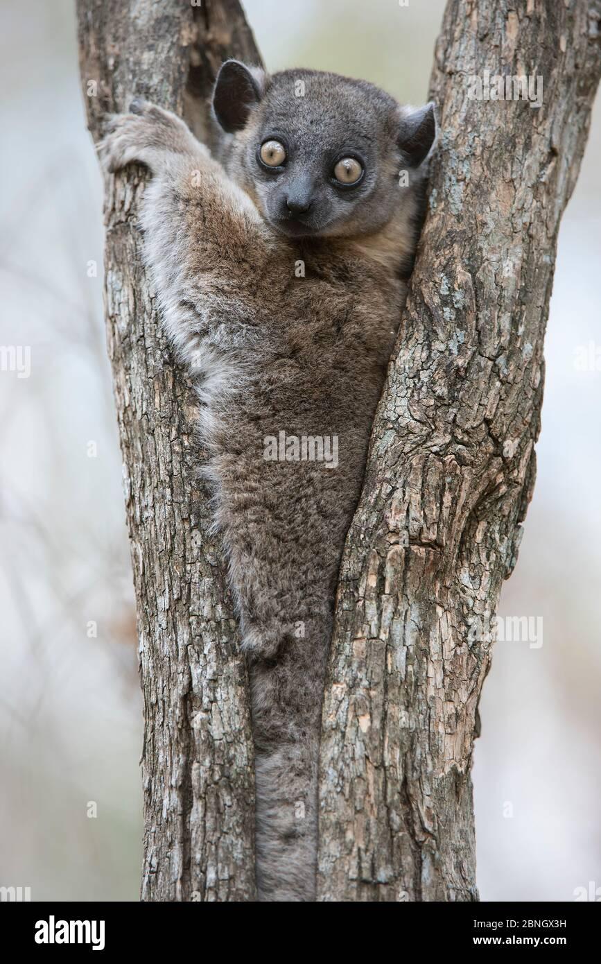 Lemilemur sportif de Hubbard (Lepilemur hubbardorum) dans la fourchette d'arbres, PN de Zombitse-Vohibasia, Madagascar Banque D'Images