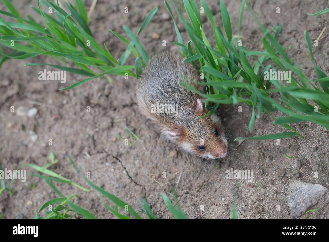 Hamster européen (Cricetus cricetus) juvénile dans le champ de maïs, captif. Banque D'Images