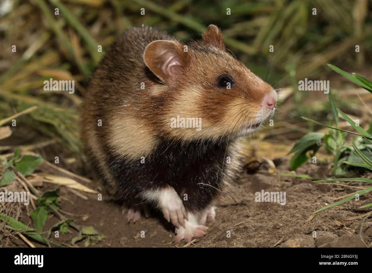 Hamster européen (Cricetus cricetus) adulte femelle, captif Banque D'Images