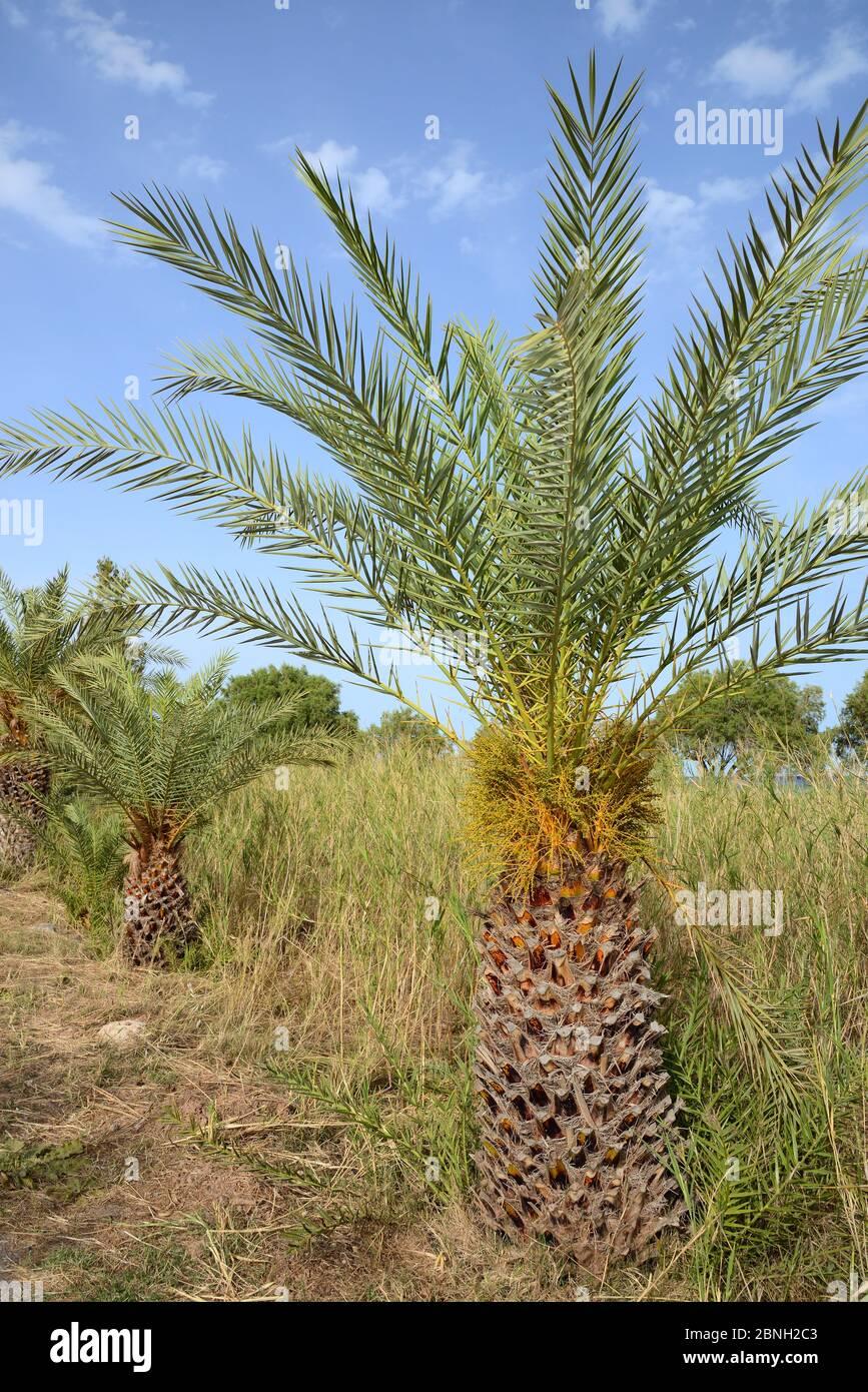 Jeune palmier crétois (Phoenix theophrasti) avec fruits en développement, village de Xerokambos, Lasithi, Crète, Grèce, mai 2013. Banque D'Images