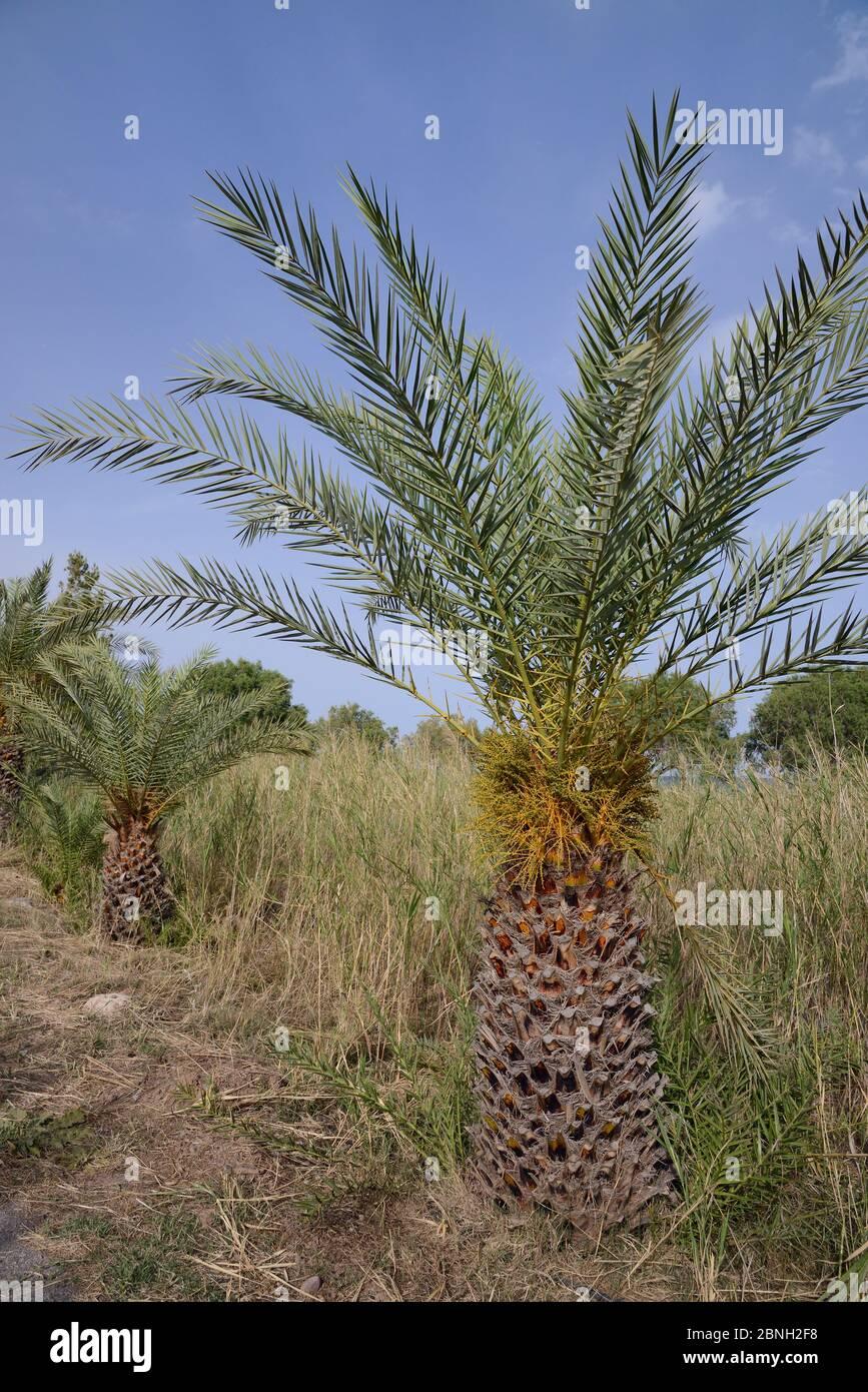 Jeunes palmiers crétois (Phoenix theophrasti), village de Xerokambos, Lasithi, Crète, Grèce, mai 2013. Banque D'Images