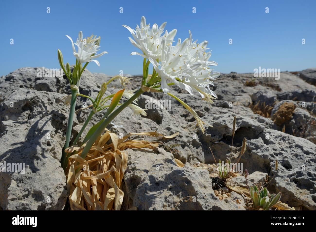 Daffodil de mer / Lys de mer (Pancratium maritimum) floraison parmi les roches calcaires sur la pointe côtière, Ponta de Sagres, Algarve, Portugal, juillet 2013. Banque D'Images