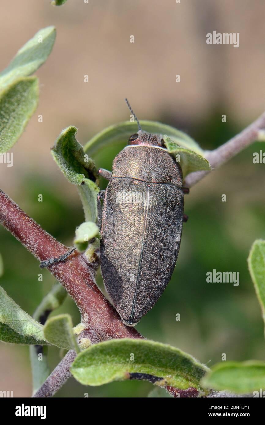 Buprestid de cuivre / coléoptère des joyaux (Aurigena / Perotis lugubris) un ravageur des racines de té de fruits, Lesbos / Lesvos, Grèce, Mai Banque D'Images