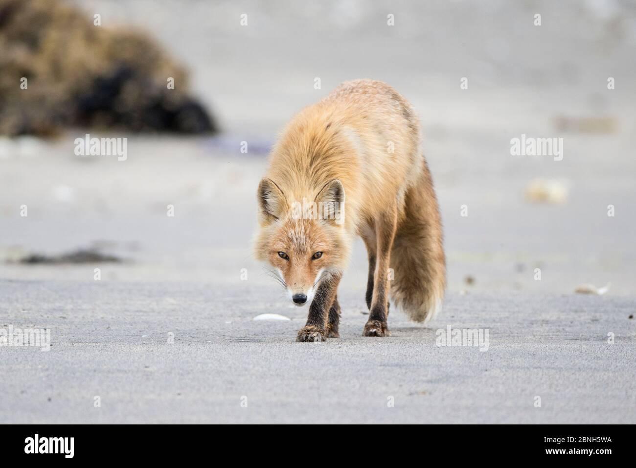 Renard roux (Vulpes vulpes) Parc national de Katmai, Alaska, États-Unis, juin. Banque D'Images