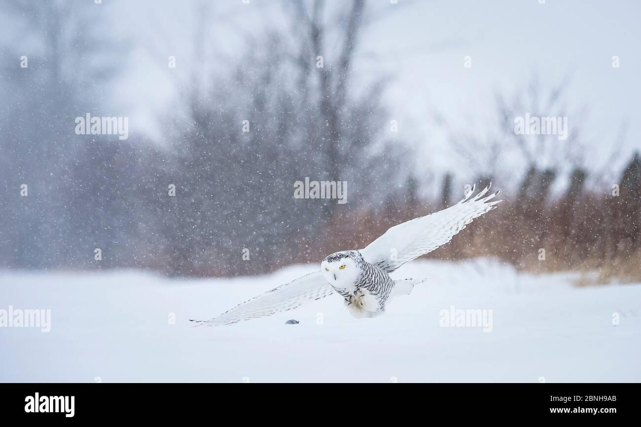 Hibou des neiges (Bubo scandiacus) qui survole une tempête de neige sur le point de bondir sur les proies, Ottawa, Canada. Banque D'Images