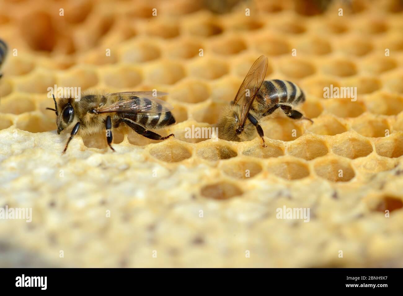 Les abeilles domestiques européennes (APIs mellifera) mettent le miel dans les cellules de stockage en peigne dans la ruche. Lorraine, France. Août. Banque D'Images