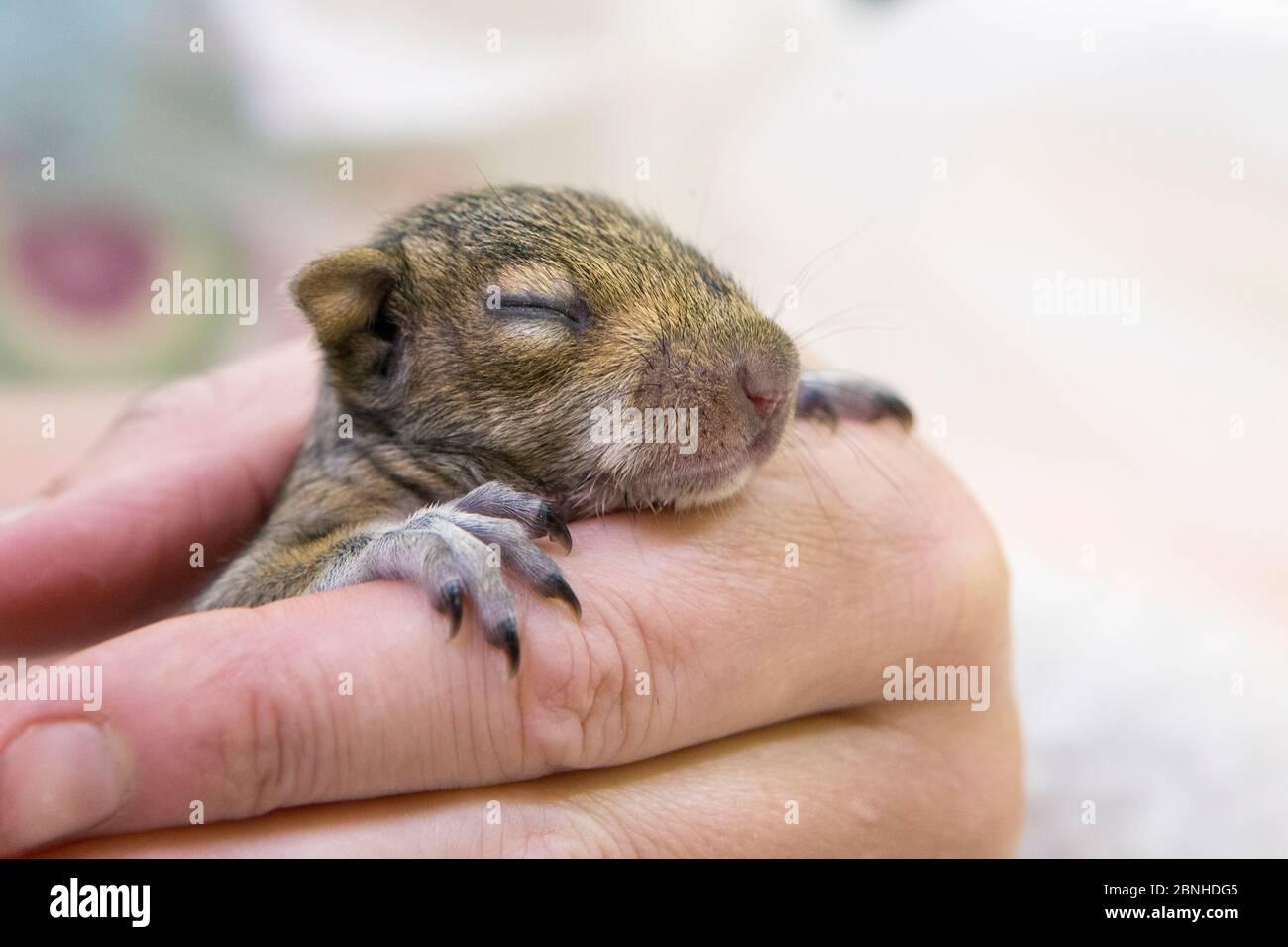 Écureuil gris de l'Ouest (Sciurus griseus) bébé orphelin de trois semaines (est tombé du nid après avoir été dérangé par les jardiniers) WildCare, San Rafael, Califo Banque D'Images