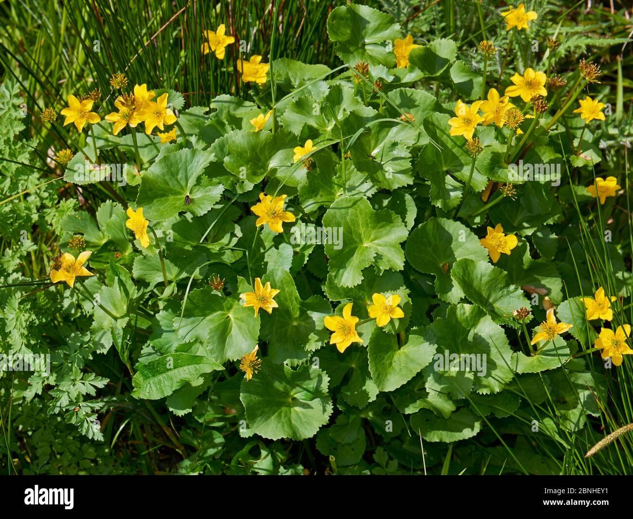 Kingcups ou Marsh marigold (Maltha palustris) Sussex, Royaume-Uni Banque D'Images