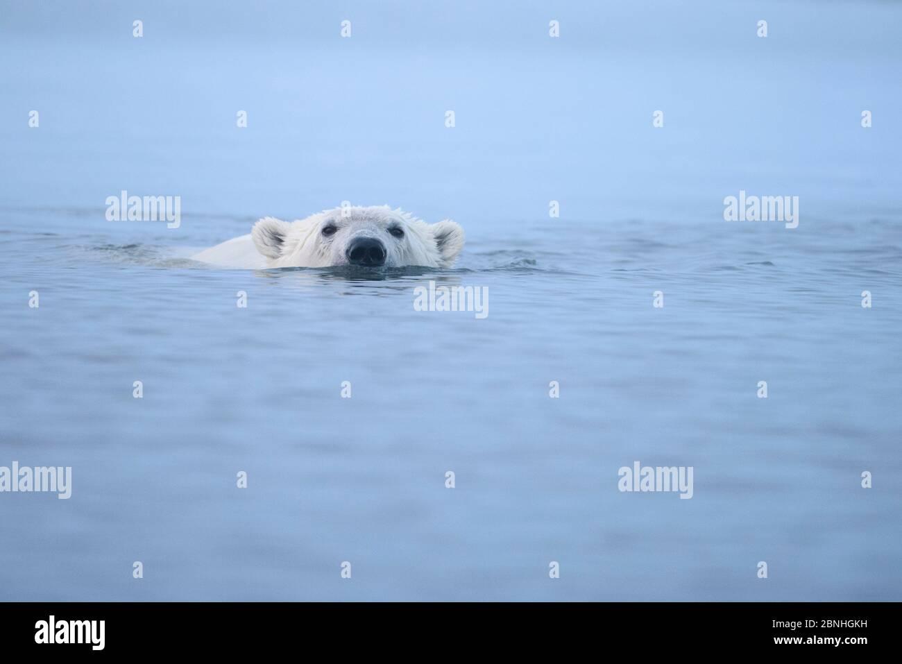 Ours polaire (Ursus maritimus) nageant à la surface de la mer de Beaufort, Alaska, États-Unis Banque D'Images