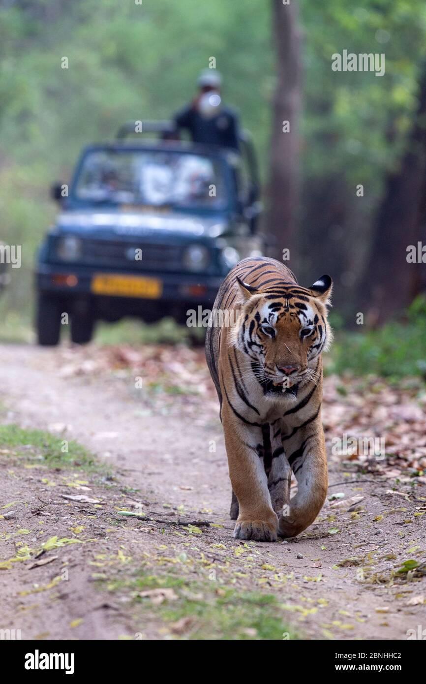 Tigre du Bengale (Panthera tigris) mâle marchant sur la piste forestière suivi par des touristes en jeep, Parc national de Kanha, Madhya Pradesh, Inde Banque D'Images