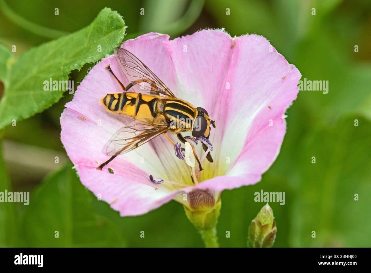 La mouche d'Hoversfly (Helophilus pendulus) se nourrissant de la bindweed de Field (Convolvulus arvensis) Cimetière Brockley, Lewisham, Londres, Royaume-Uni août Banque D'Images