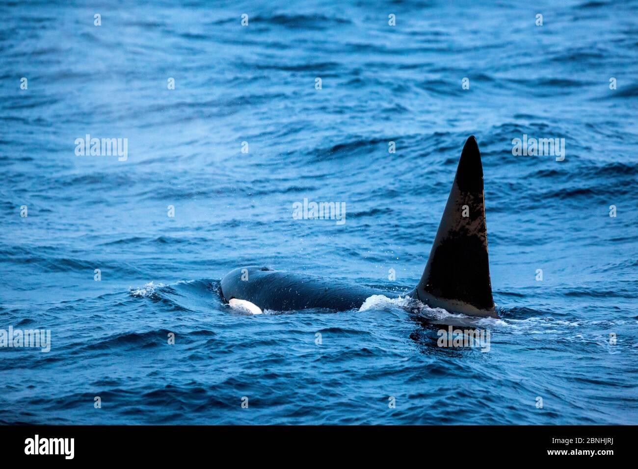 Orque (Orcinus orca) adulte mâle, surface, Andenes, île d'Andoya, Océan Atlantique Nord, Norvège janvier Banque D'Images