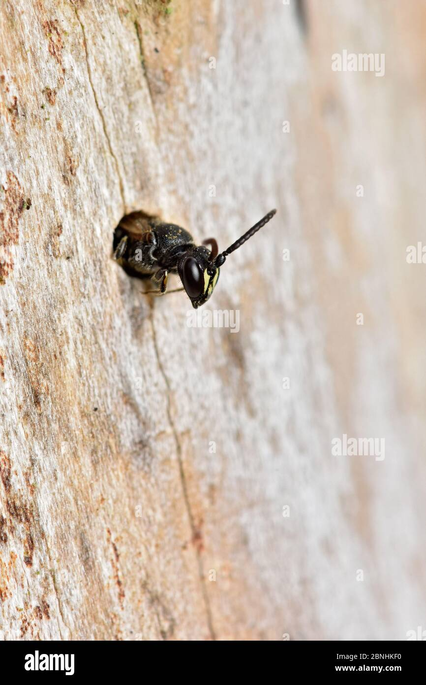 Abeille Hylaeus (Hylaeus sp) petite abeille à face jaune émergeant du site de nidification dans le trou de coléoptère dans le bois mort, Berkshire, Angleterre, Royaume-Uni, août Banque D'Images
