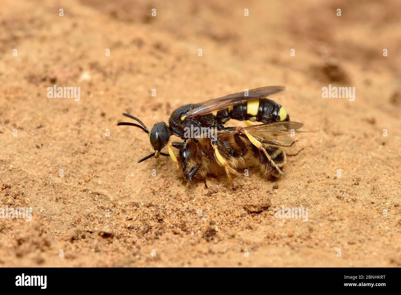 La guêpe Digger (Cerceris rybyensis) transportant l'abeille minière paralysée (Andena flavipes) de retour à la terrow où la victime sera mangée par les larves de guêpe, su Banque D'Images