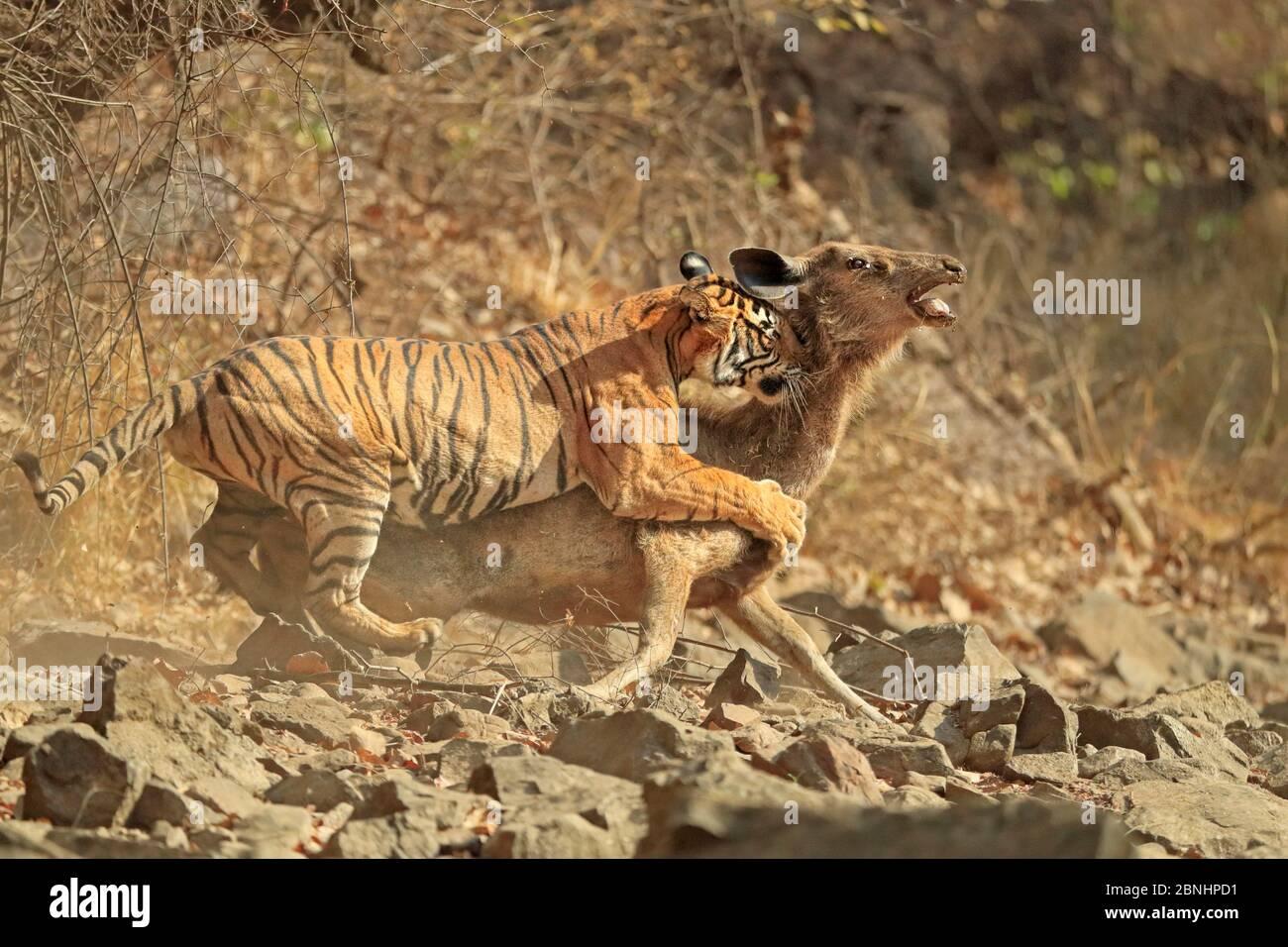 Tigre du Bengale (Panthera tigris tigris) femelle 'Noor T19' qui fait tomber le cerf de Sambar (Rusa unicolor) Ranthambhore, Inde. Séquence 8 de 18. Banque D'Images