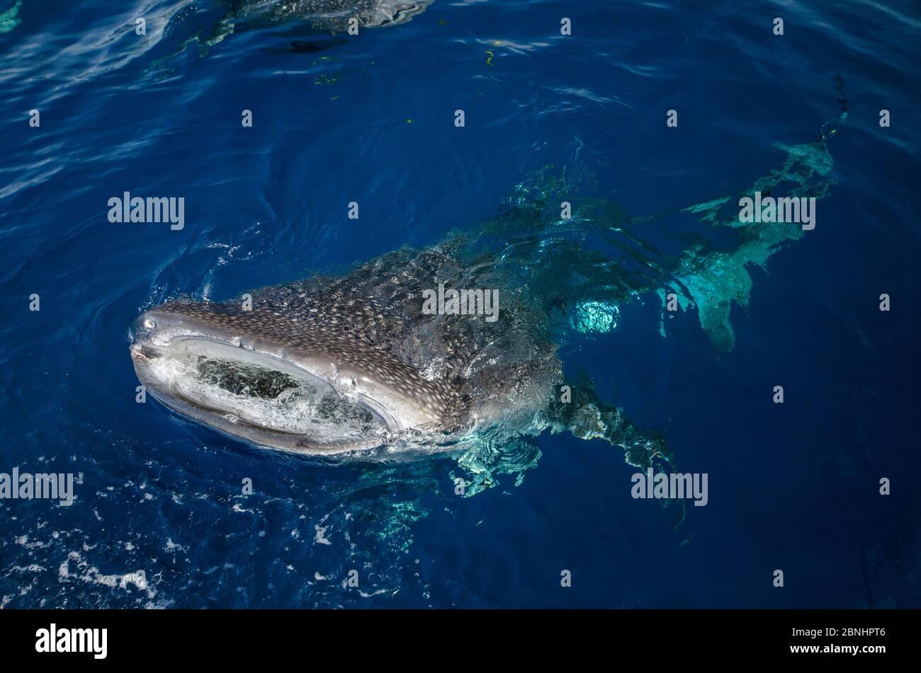 Requin-baleine (Rhincodon typus) près de la surface, vues de dessus, à la baie Cenderawasih, en Papouasie occidentale. L'Indonésie. Banque D'Images