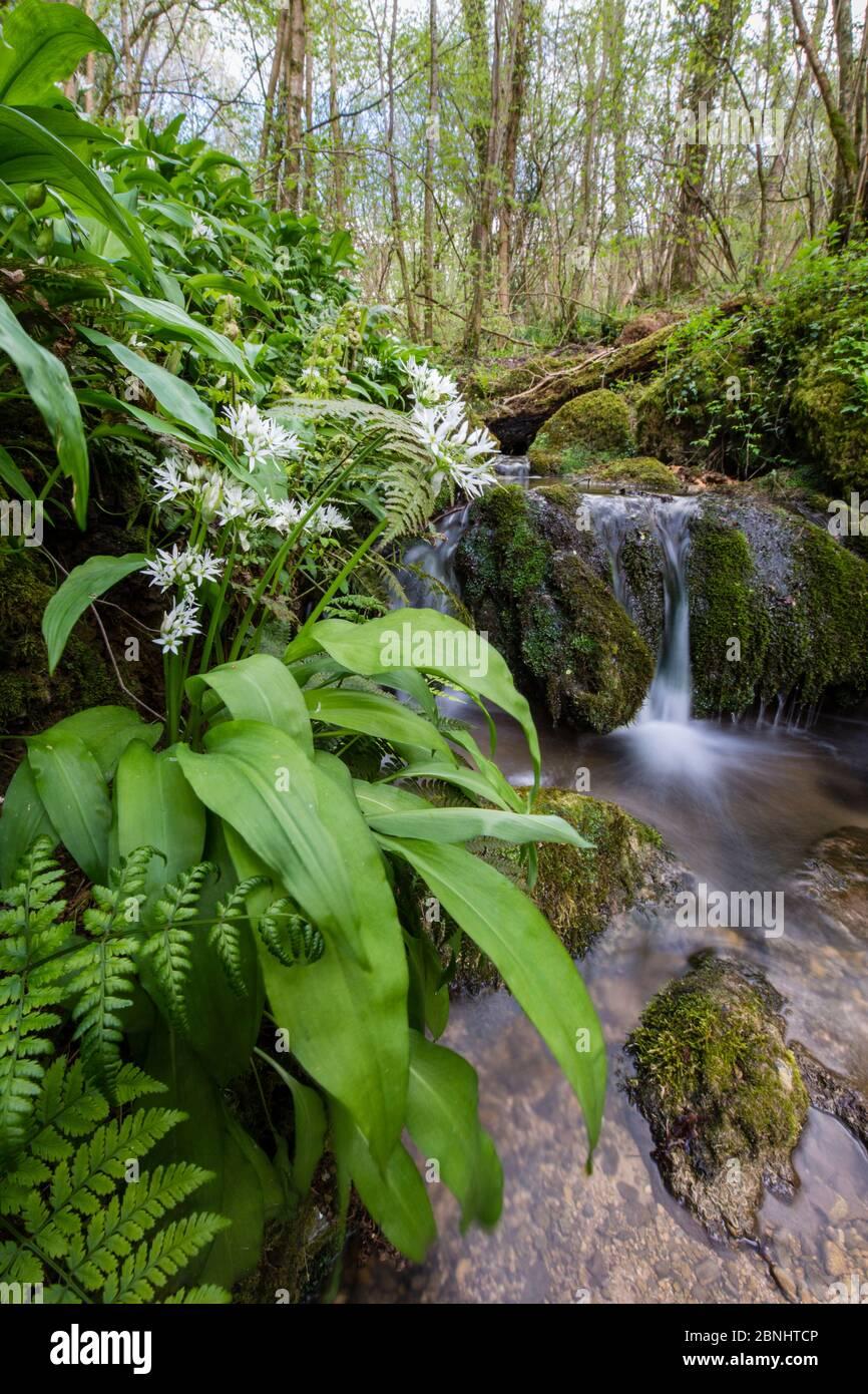 Ail sauvage / Ramsons (Allium ursinum) floraison dans les bois à côté de Kilcott Brook, Midger Gloucestershire Wildlife Trust nature Reserve, Royaume-Uni. Avril 201 Banque D'Images