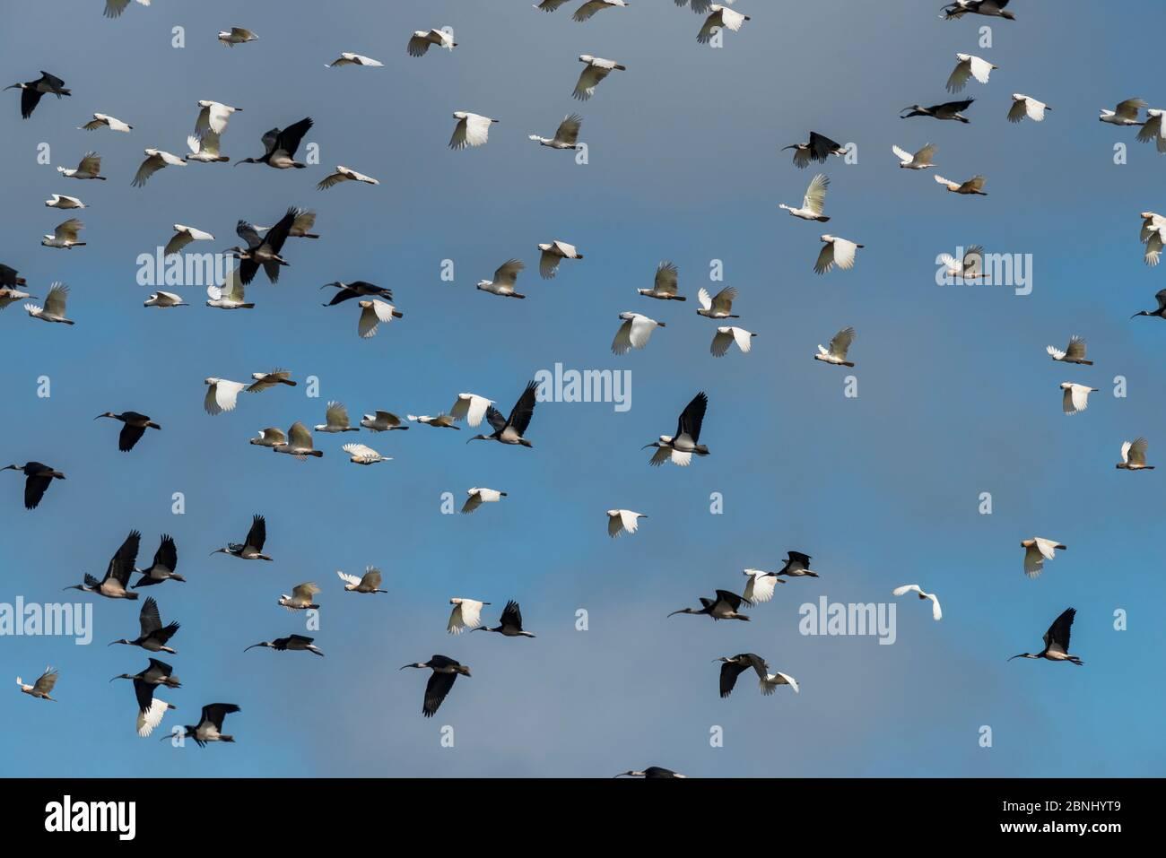 Un énorme troupeau de Cockatoo à crattes de soufre (Cacatua galerita) et d'ibis à craie de paille (Threskiornis spinicollis) volant après avoir mangé / creusé des arachides de Banque D'Images