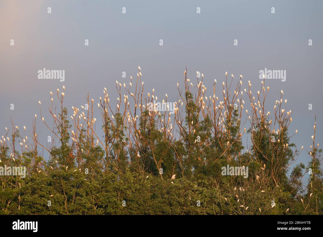 Cacatua galerita (Cacatua galerita) flock roosting, Atherton Tablelands, Queensland, Australie. Banque D'Images