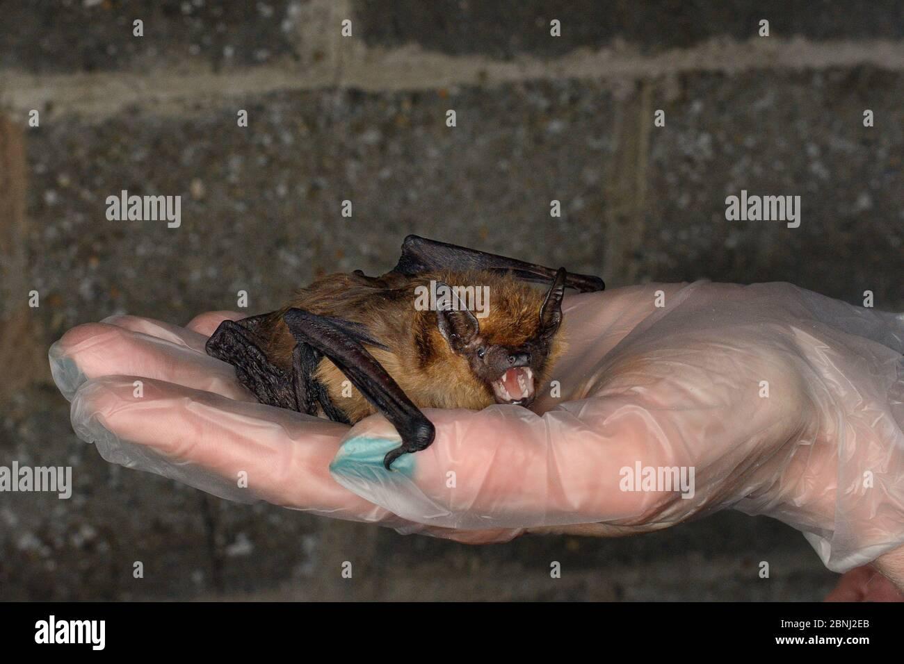 La chauve-souris Serotine sauvée (Eptesicus serotinus) tenue dans une main, sur le point de faire tester sa récupération et sa capacité de voler dans une cage de vol avant de la libérer Banque D'Images