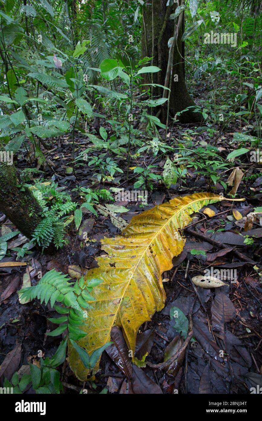 Sous-croissance de la forêt tropicale avec de grandes feuilles (Aleis noir) sur le sol. Forêt tropicale, Barro Colorado Island, Gatun Lake, Panama Canal, Panama. Banque D'Images