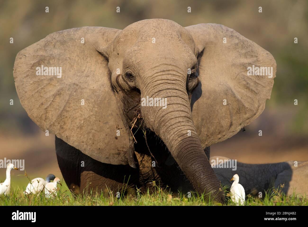 Éléphant d'Afrique (Loxodonta africana) reposant avec les aigrettes de bétail (Bubulcus ibis) Mana pools National Park, Zimbabwe. Banque D'Images
